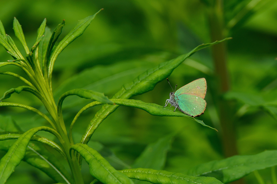 Green hairstreak butterfly copyright Tom Lee