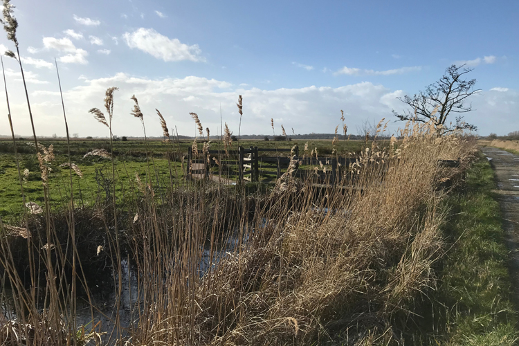 Reeds in the broads