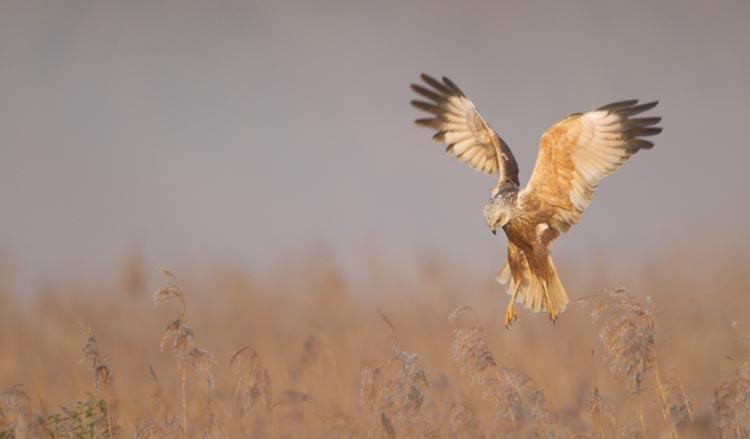 Wildlife in the Broads National Park - Marsh Harrier