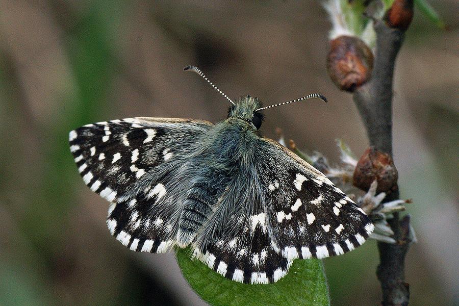 Grizzled Skipper butterfly copyright Ilia Ustyantsev