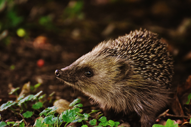 Hedgehog in shrubbery