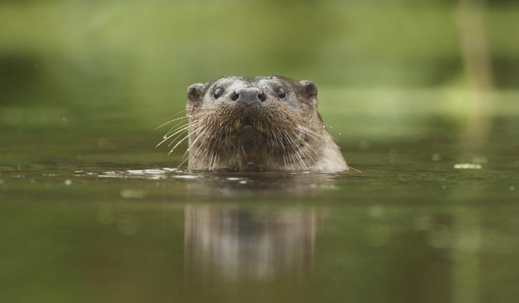 Wildlife in the Broads National Park - Otter