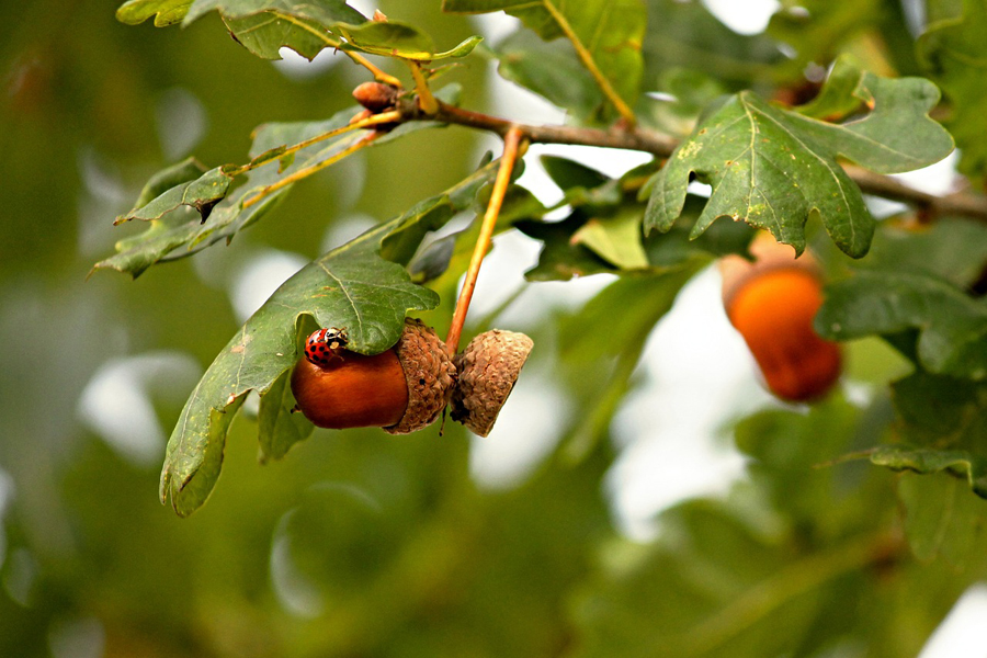 Acorns on oak tree