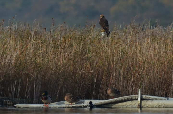 Marsh Harriers at Hickling Broad
