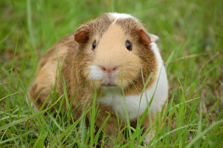 wroxham barns guinea pigs