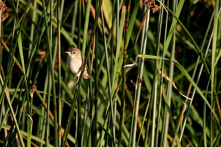 cettis warbler © paul blathwayt