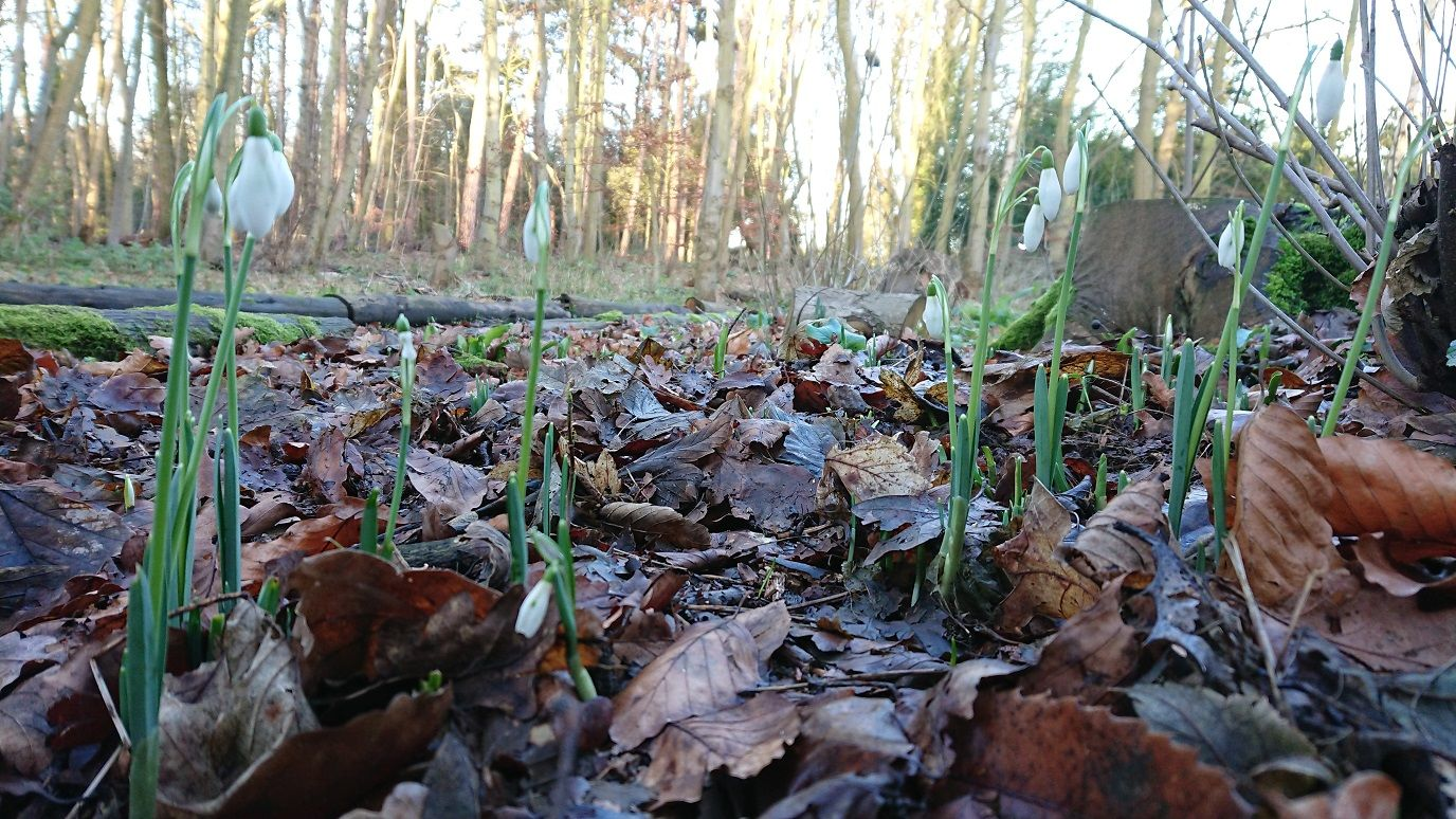 Snowdrops at How Hill National Nation Reserve