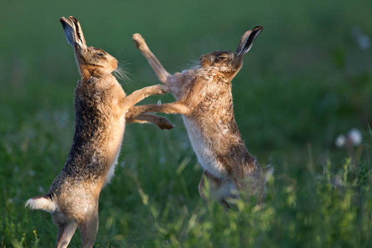 Brown hares © Natural England/Allan Drewitt https://flic.kr/p/oeka3v