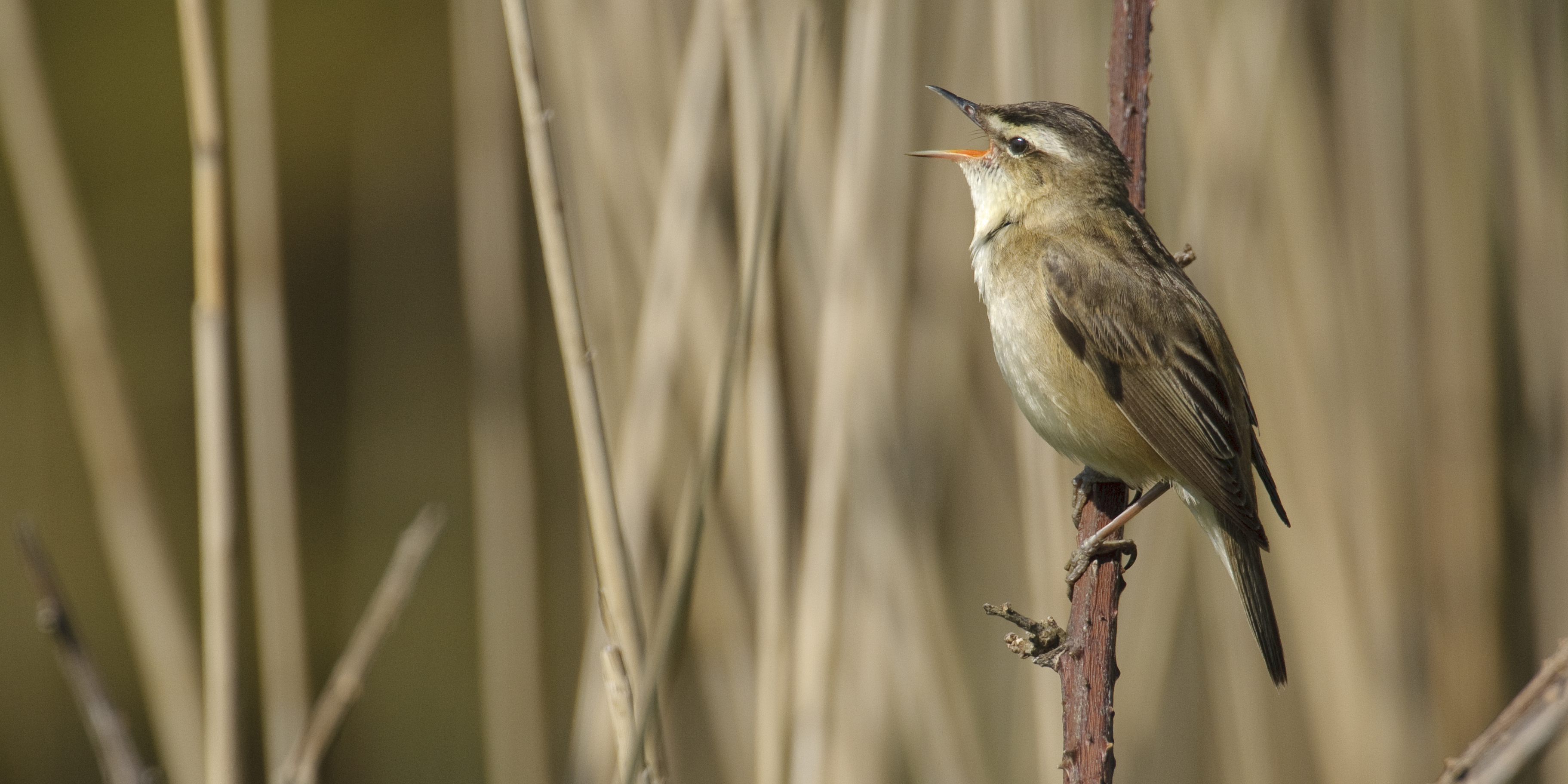 Wildlife in the Broads National Park - Sedge Warbler