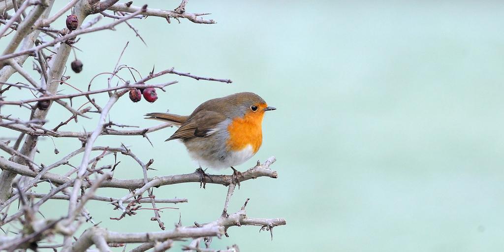 Robin © Kev Chapman (Flickr)