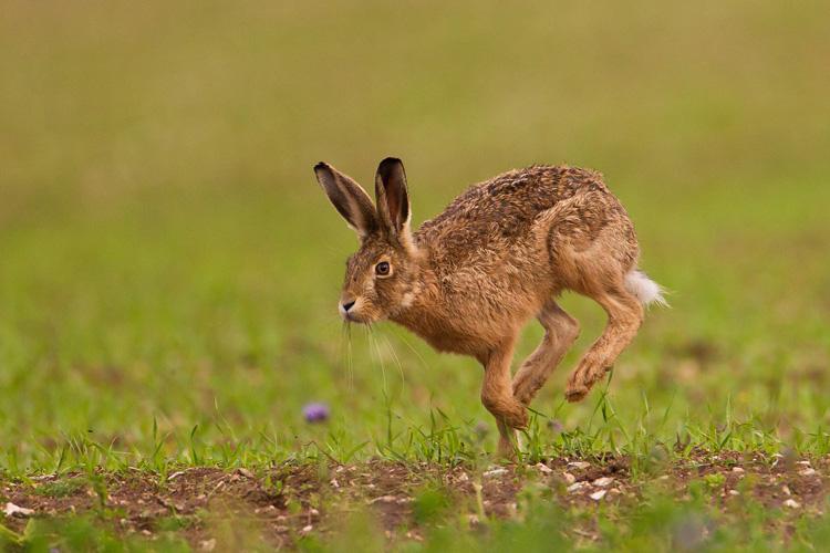 Brown hare © Natural England/Allan Drewitt