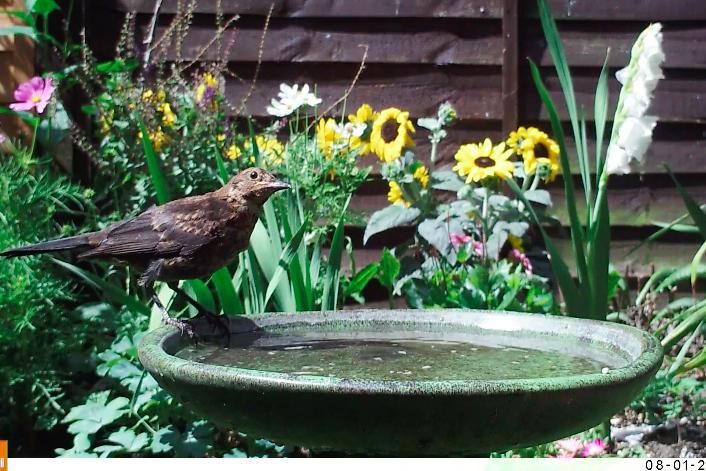 blackbird on trail cam