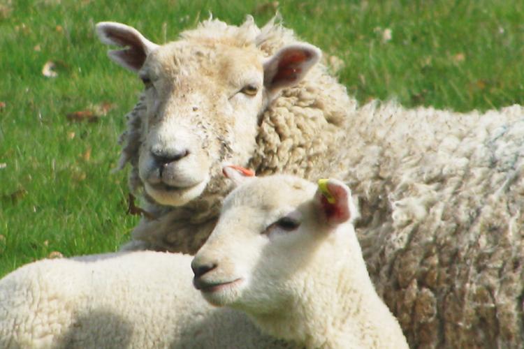 Easter lambs at hoveton hall