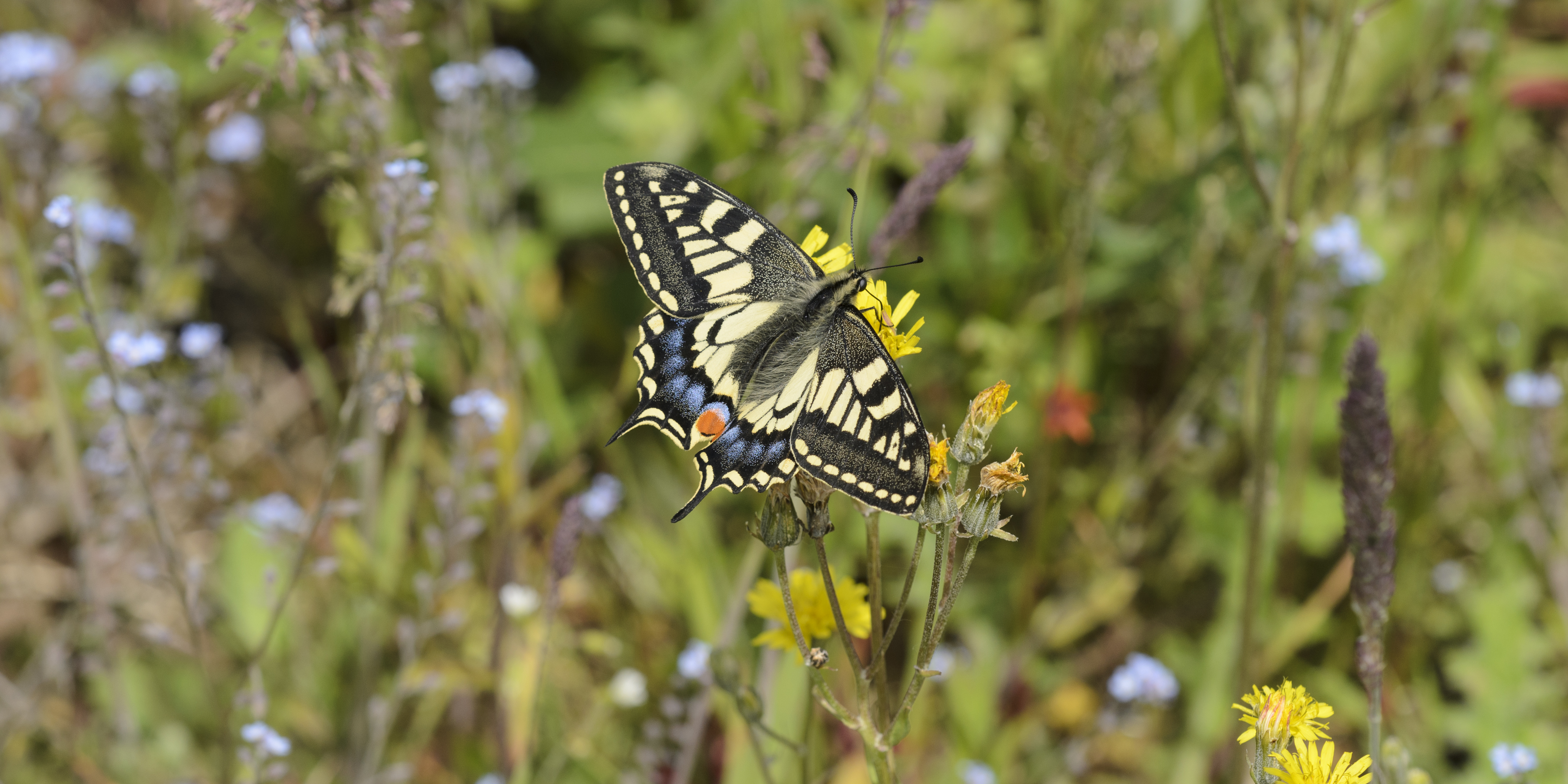 Wildlife in the Broads National Park - Swallowtail Butterfly
