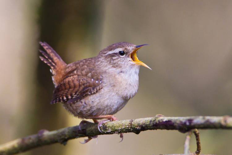Wren © Natural England/AllanDrewitt