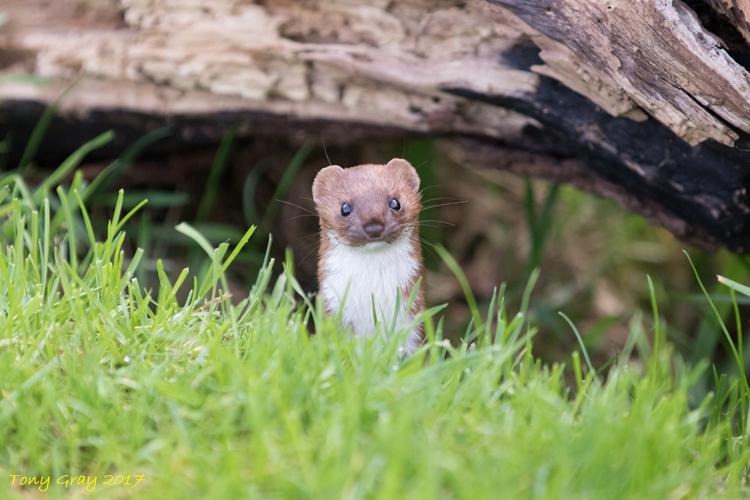 Weasel © Tony CC Gray