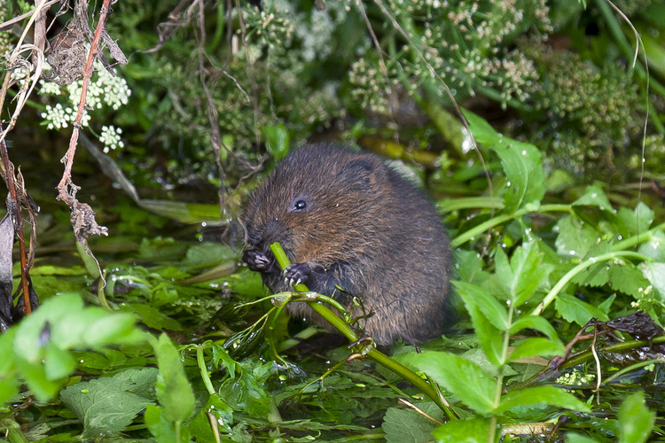 Water Vole © Nick Ford