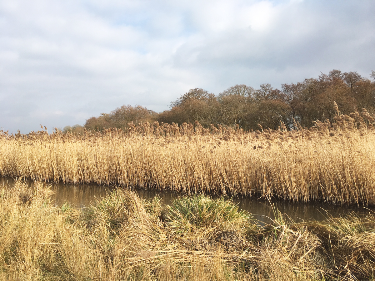 Carlton Marshes Reedbeds