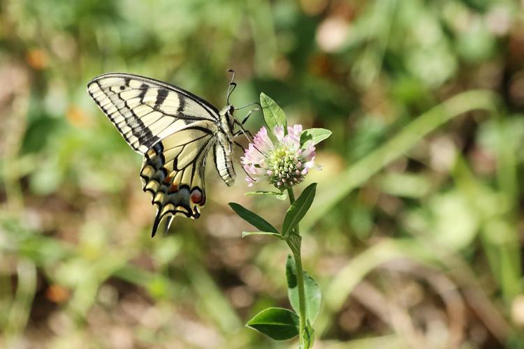 swallowtail day thumbnail